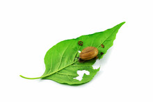 Snail On Leaf Isolated On White Background - Snail Eating Green Leaves
