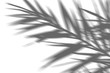 abstract background of shadow exotic palm leaves on a white wall. White and Black for overlay a photo or mockup