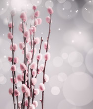 Beautiful Spring Nature Background With Willow Branches And Furry Pink Catkin At Bokeh, Front View With Copy Space.  Pussy Willow Srpingtime Background