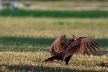 Vultures In Everglades Nationa...
