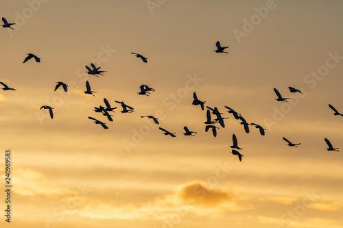Fotografie, Obraz  A flock of seabirds flying in the sunrise in Everglades National Park in FlorIda, U