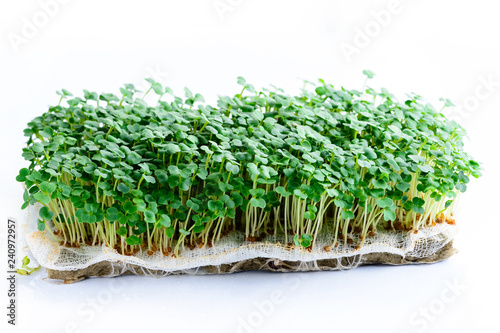 microgreen arugula sprouts on a light background Raw sprouts, Canvas Print