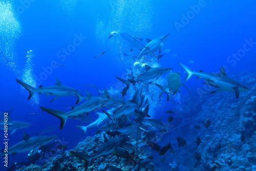 Shark feeding of Grey reef sharks