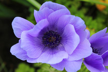 The Beautiful Purple Flowers Of Anemone Coronaria, Also Known As Poppy Anemone, Spanish Marigold, Or Windflower. Close Up Outdoors In A Natural Setting.