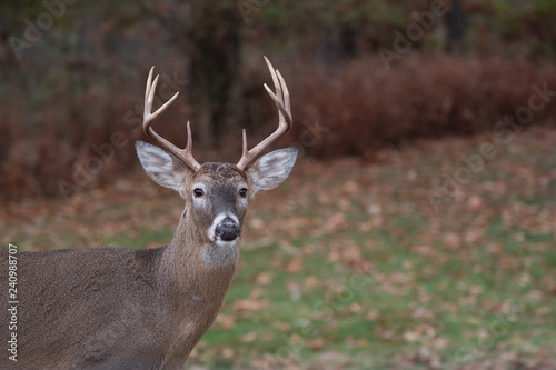Poster Cerf White-tailed deer buck along the edge of the woods