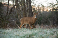 White-tailed Deer Buck In Open...