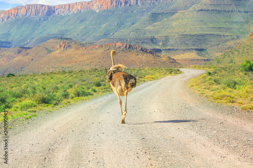 Ostrich on Karoo National Park dirt road. Beaufort West in South Africa. Mountain background and gravel.