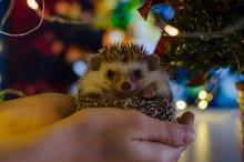 Hedgehog With Christmas Lights Bokeh Background