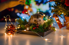 Hedgehog With Christmas Lights Bokeh Background