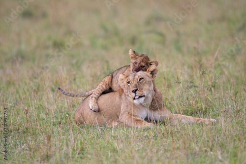 Fotografie, Obraz  Lioness and cub playing