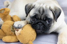 Funny Pug Puppy Playing With A...