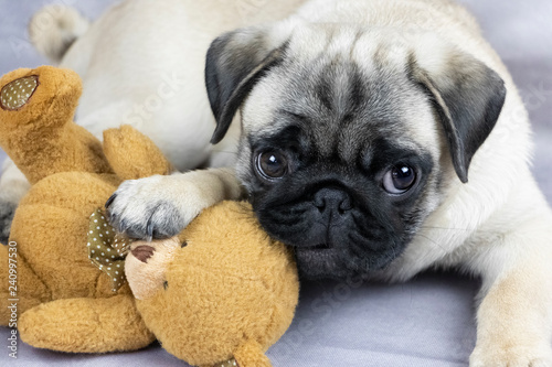 Cuadros en Lienzo funny pug puppy playing with a soft toy, close-up