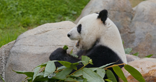 Panda eat bamboo Canvas Print