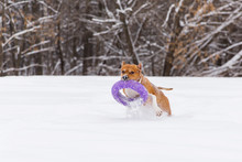 Brown Dog Playing With Round Toy In The Snow In A Forest. Staffordshire Terrier. Running Dog
