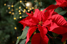 Beautiful Poinsettia And Space...