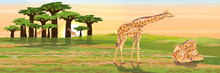 A Group Of Giraffes Near A Baobab Grove. A Sleeping Giraffe Is Sitting On The Grass. African Savannah. Realistic Vector Landscape. The Nature Of Africa.