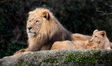 Lion And Lion Cubs. Latin Name - Panthera Leo