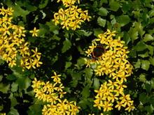 Creeping Groundsel, Or Senecio Angulatus, Yellow Flowers, Red Admiral, Or Vanessa Atalanta  Butterfly,and Honey Bee, Or Apis Mellifera