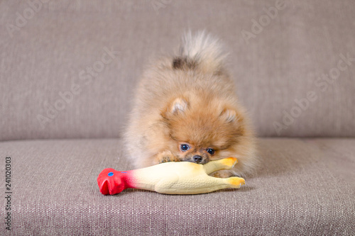 Photographie funny small pomeranian puppy playing on the couch with a toy