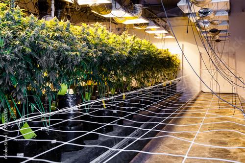 growing marijuana indoors Canvas Print