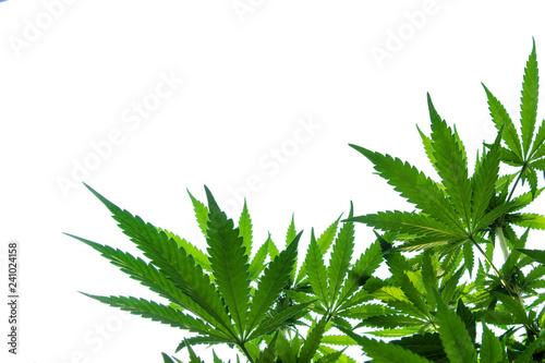 Fotografie, Obraz Marijuana plant