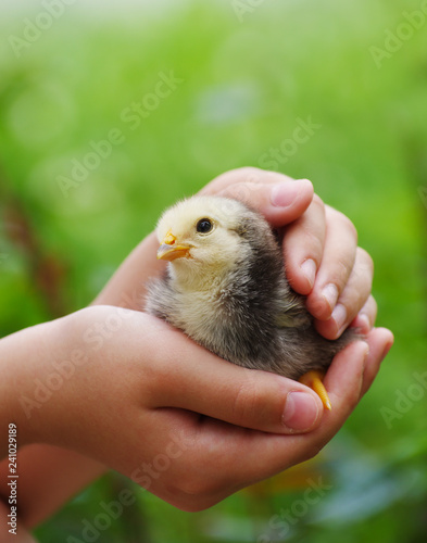 The child holds a chick in his hands.
