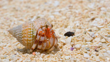 MACRO: Shy White Hermit Crab Comes Out Of Its Shell And Roams Around The Beach