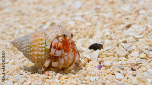MACRO: Shy white hermit crab comes out of its shell and roams around the beach Fototapete