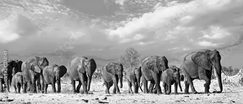 Photo  Panorama of a family herd of elephants walking across the African Plains in Hwan