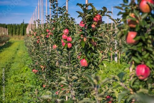 Sad jabłoni. Dojrzałe, czerwone jabłka