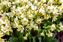Primrose With Yellow Flowers
