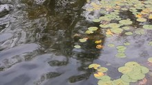 Lily Pads Bobbing On The Surface Of A Lake