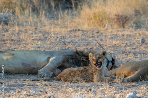 Photo  roaring lion cub