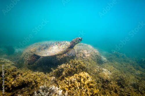 Plakat Zielonego morza żółwia dopłynięcie przy Fitzroy wyspą
