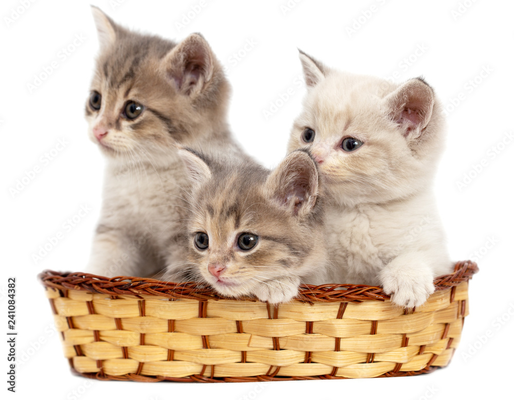 Fototapety, obrazy: Three kittens in a basket on a white background