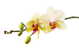 Fototapeta Storczyk - Branch of the blossoming orchid of yellow color isolated on a white background close-up. Frontal view of flowers