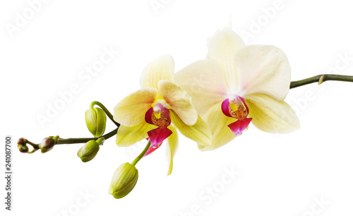 Keuken foto achterwand Orchidee Branch of the blossoming orchid of yellow color isolated on a white background close-up. Frontal view of flowers
