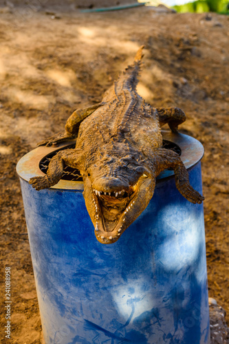 Dried scarecrow of young nile alligator