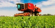Commercial Pea Farming Close U...