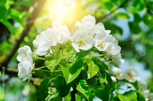 Flowering branch of pear blooming spring garden and sun.