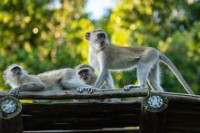 Some Vervet Monkeys On The Roo...