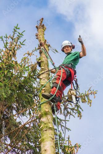 European arborist climbing in top of fir tree Wallpaper Mural