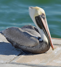 Close Up Of North American Adult Brown Pelican With Long White Neck, Pale Yellow Head, And Large Orange Bill With Yellow Beak Sitting On A Cement And Wood Dock With Ripples Of Water In Background.