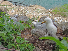 Close Up Of Grey And White Ring-billed Seagull (Larus) With Bright Red Eye And Yellow Beak, Nesting With 3 Fluffy Black Spotted Gull Chicks, With Large Coloney In Background Taken Near Niagara Falls.