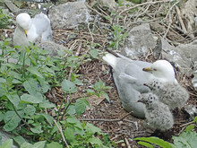 Two Grey And White Ring-billed Seagulls (Larus) With Bright Red Eye And Yellow Beak, Nesting In Mulch, Rocks And Leaves With Fluffy Black Spotted Gull Chicks, Taken Near Niagara Falls, New York.