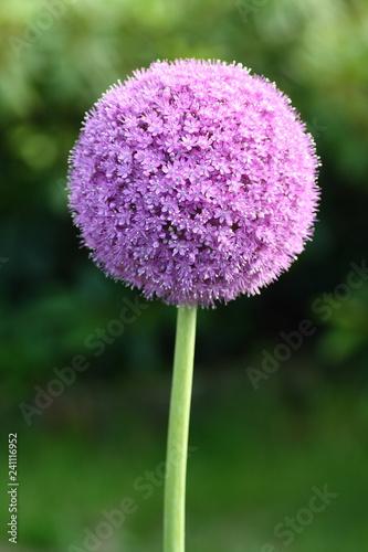 Fototapeta Kwiat Czosnek Olbrzymi  obraz