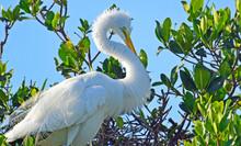 Closeup Of Great Egret (Ardea ...