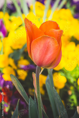 Photo  single orange tulip among yellow flowers