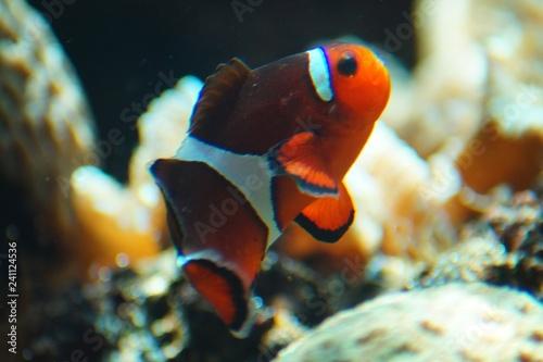 Fotografia  Ein kleiner Clownfisch I