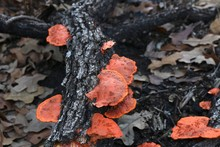 Close Up Of Orange Mushrooms On A Fallen Tree Branch Amidst Brown Leaves